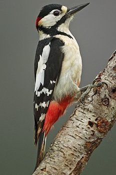 Great Spotted Woodpecker: Great Spotted Woodpecker - Male
