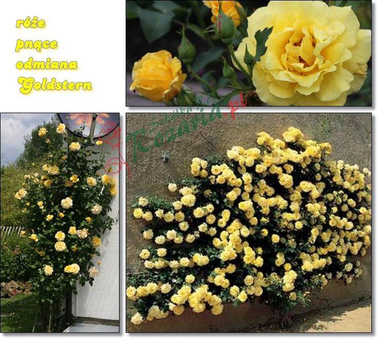 zólte róże pnące goldstern