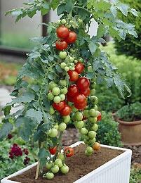 Jos nyt sais terassille kasvamaan - tomaatit, chilit ja yrtit :)