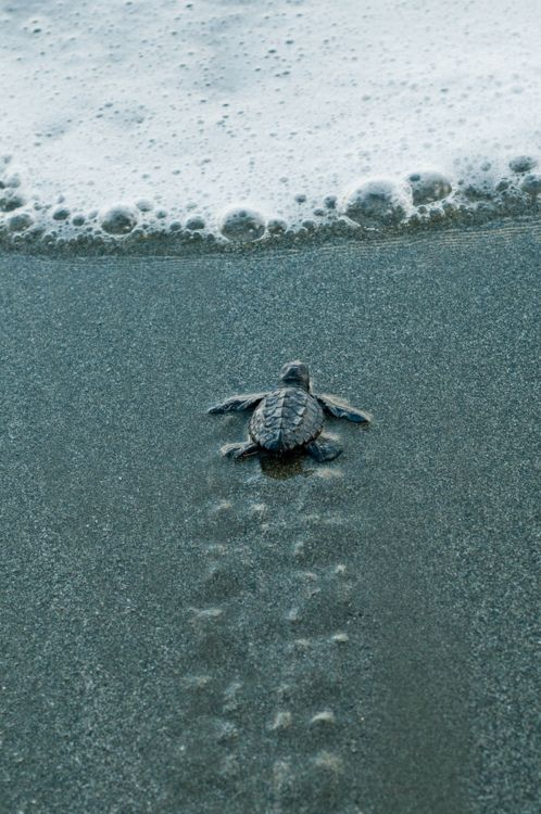 baby turtle running for life