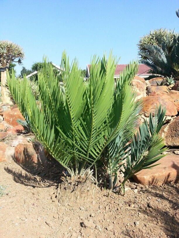 E.dolomiticus