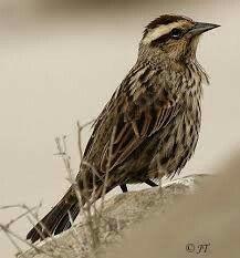 Trile - Aves de Chile