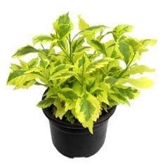 Duranta Golden Edge   Plantas del compañero: Firebush, mariposa Bush, Ageratum