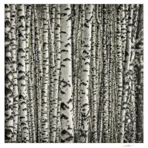 White Birches (Betula Papyrifera) Algonquin Park, Ontario, Canada,  photo by Andrey Borisov