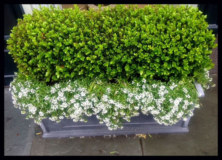planter with boxwood and white alyssum   flowers/gardens ...