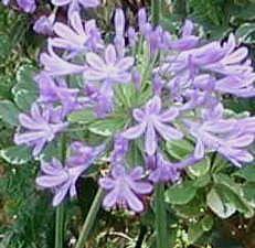 A szerelemvirág mutatós virágzata vágottan tartós így jó vázadísz is lehet. Szobanövények, pozsgás növények
