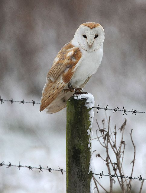 barn owl  jan14 2013 by harrybursell, via Flickr  --- not my photo, but have seen three of these beautiful birds in the past few days in North Norfolk, UK