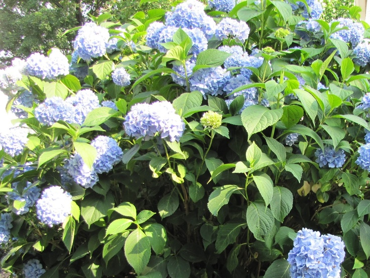 Hydrangea . fast growing privacy hedge