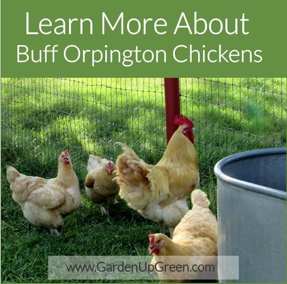 Learn More About Buff Orpington Chickens