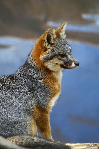 A Fox Found on The Channel Islands, Off The Coast of The British Isles.   (Photo By: Joseph Benedetto.)