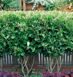 They Do Grow Quickly, So Would Quickly Establish A Living Privacy Fence.