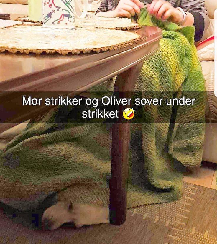 Oliver liker å sove under strikketøyet mitt   #bortskjemthund  #hund #buhund #oliverthedog #strikking #craft #dogs #dogsofinstagram
