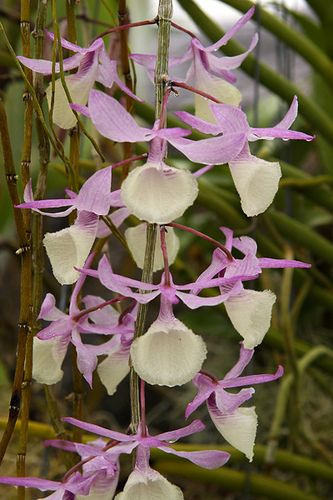 """Orchids.   (""""Dendrobium pierardii 