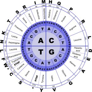 Genetic Code by @J_Alves, <p>The genetic code, in DNA letters (T instead of U), and containing amino acids in three representations: full name, 3-letter abbreviation, and 1-letter. Drawn in Inkscape.</p><p>How to read the genetic code: start from the center circle and go outwards. So, if the gene has an <b>AGC</b>, that means amino acid <b>serine</b>. A <b>CGA</b> means <b>arginine</b>. And three of the combinations are <b>stop codons</b>, which don't give any amino acid: <b>TAA, TAG, and…