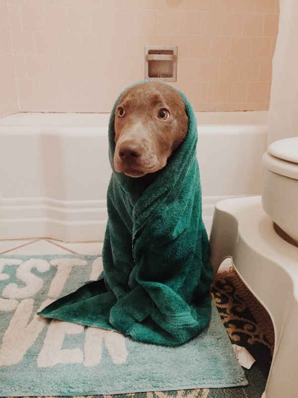 Sweet Little Puppy Dog Wrapped Up In A Towel After Bath Time