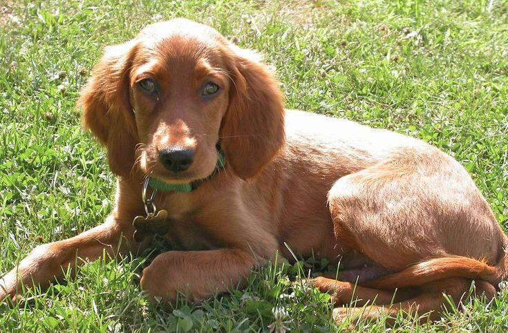 Irish Setter puppy, via allanimalsites.com
