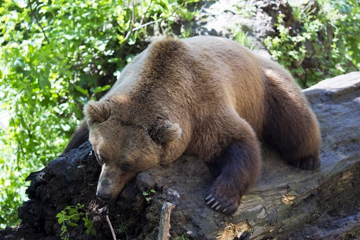 european-brown-bear-1477814_960_720.jpg (960×640)
