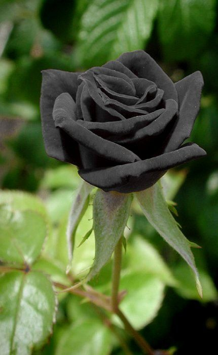 °°The Black Rose of Halfeti, Turkey°°