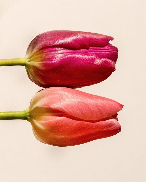 튤립, 꽃, 핑크, 레드, 다채로운, 화이트, 네덜란드