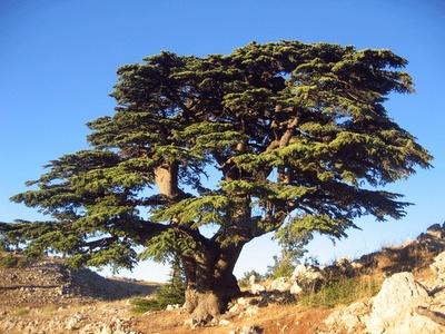 Oak Ridge Shrubbery & Landscaping, Inc.: Lebanon Cedar, the Tree of God