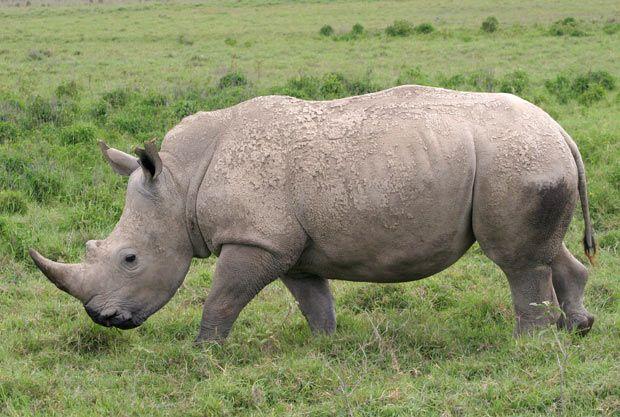 Último rinoceronte branco é vigiado por militares
