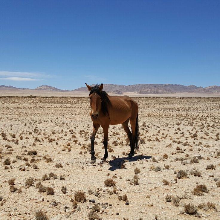Wild horse, Namibia