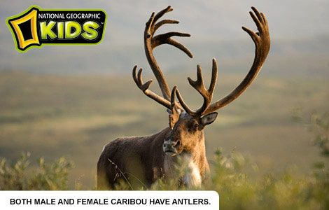 Caribou, also called reindeer, are found in northern regions of North America, Europe, Asia, and Greenland.