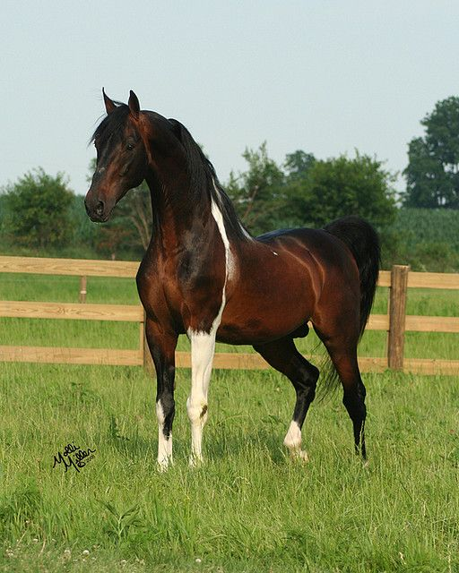 Saddlebred Bay Tobaino Stallion Pinto horse