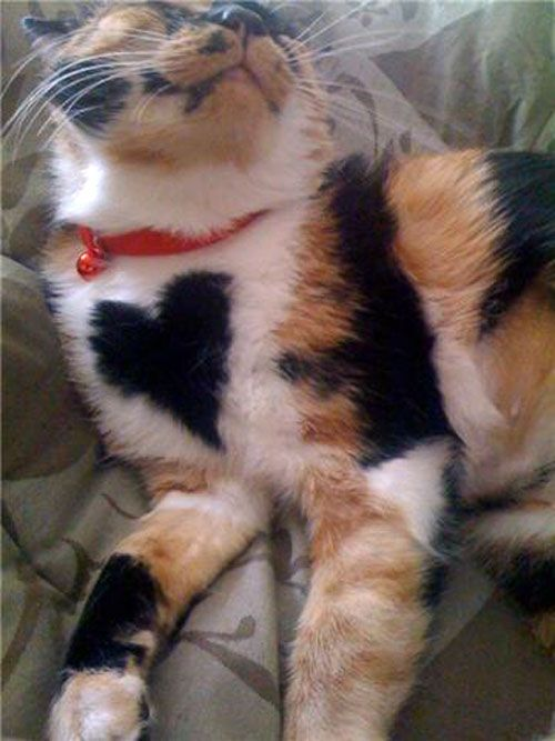cute calico cat with a heart on her chest