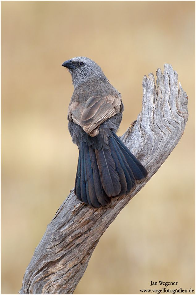 Apostlebird - The apostlebird, also known as the grey jumper, is a quick-moving, gray or black bird about 13 inches long. It is a native to Australia where it roams woodlands, eating insects and seeds at, or near, ground level.
