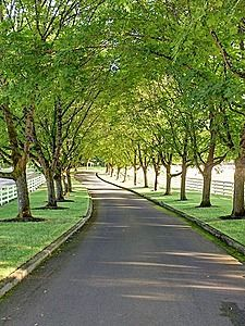 Tree lined driveway - classic