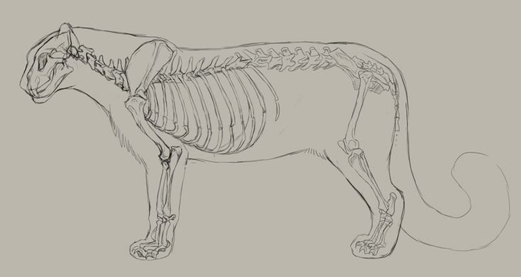 snow leopard skeleton and outline