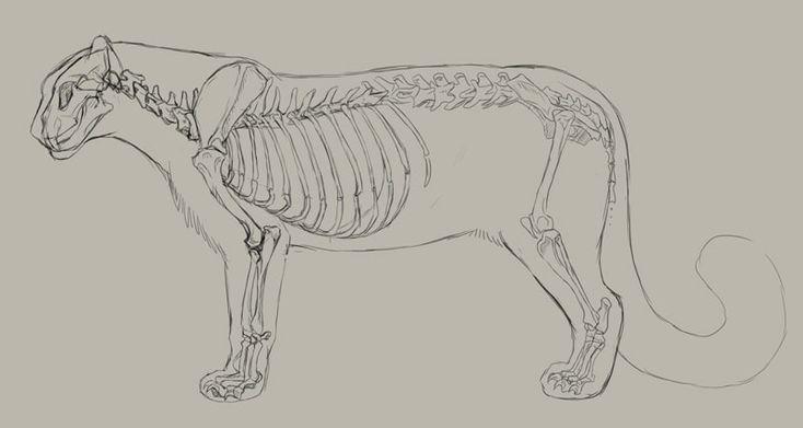 snow leopard skeleton and outline