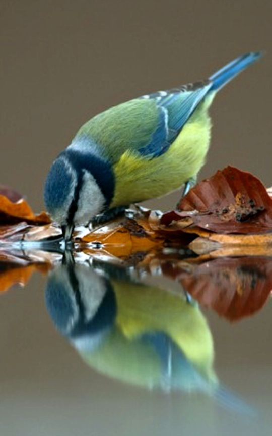 Blue Tit (Cyanistes caeruleus). A common resident throughout temperate Europe and western Asia. pin courtesy Julie Shackson.