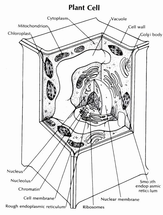Plant Cell Coloring Page Best Of Cell Coloring Page ...