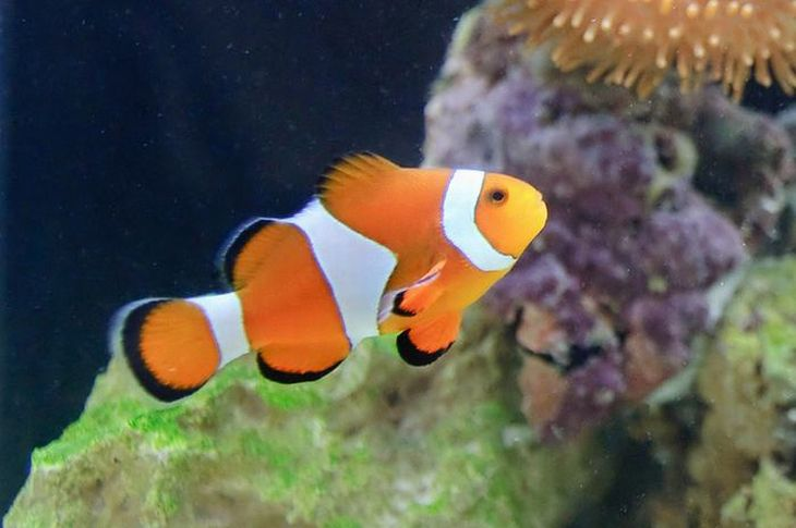 Peixe-Palhaço. Talvez o peixe tropical mais amados do mundo, o peixe-palhaço é encontrado nos oceanos Índico e Pacífico, em recifes protegidos.