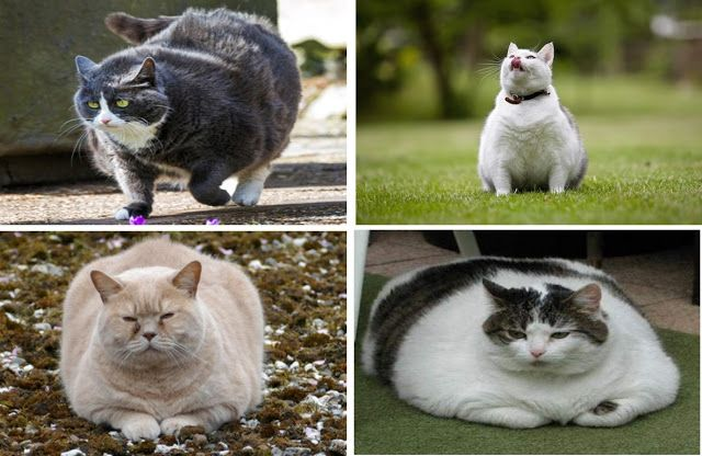 Obesity In Cats Cat Exercise Obese Cat Cats