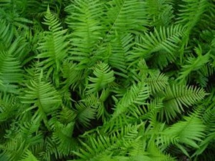 how to grow ferns outside