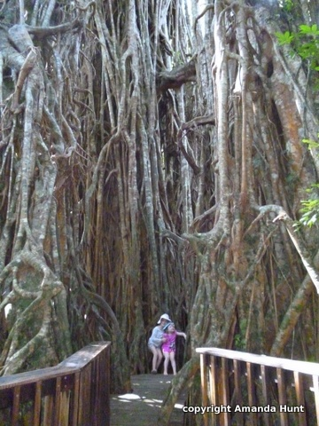 Cathedral Fig Tree, Malanda Queensland.
