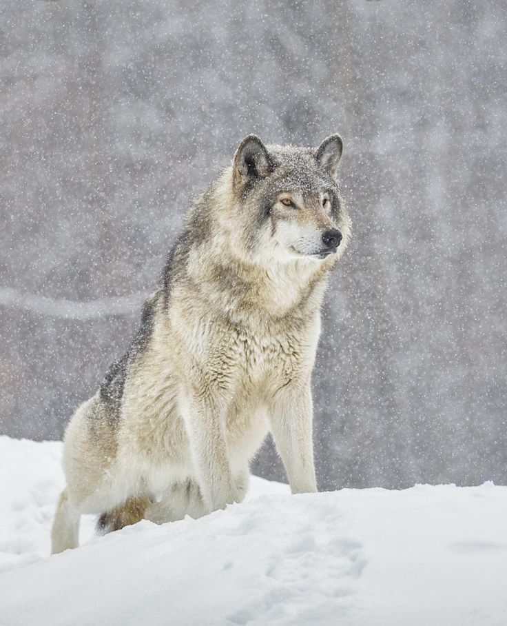 Grey pride - Grey wolf standing with pride during a snow storm at Omega Park.