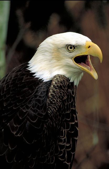 Bald Eagle, Águia, Careca, Sentado, Raptor, Pássaro                                                                                                                                                      Mais