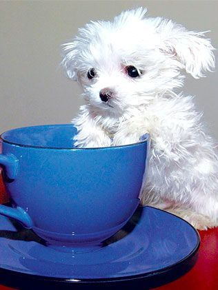 Maltese terrier pup Scooter has appeared to stop growing and could well be the smallest dog in world.