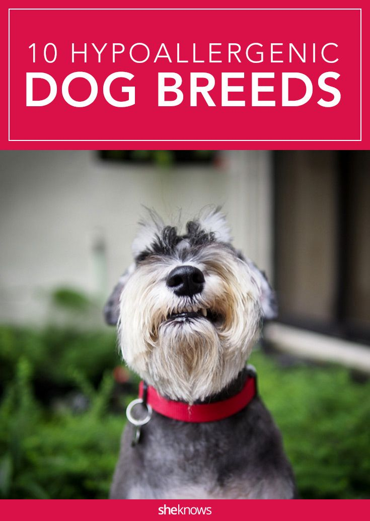 While these low-dander dogs are friendly to most allergy sufferers, it helps to visit and spend time with a particular breed to see if it causes an allergic reaction before committing to a pup. #HypoallergeticDogs
