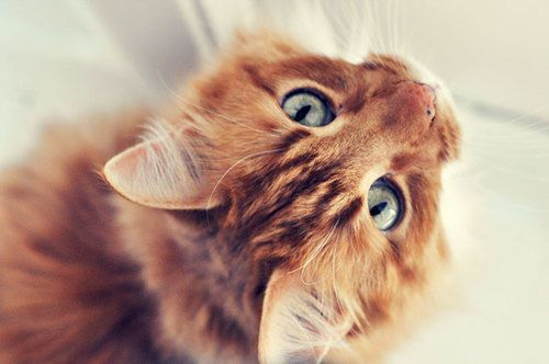 Orange tabby cat. Blue eyes. So cute! | Kitty Ki's ...