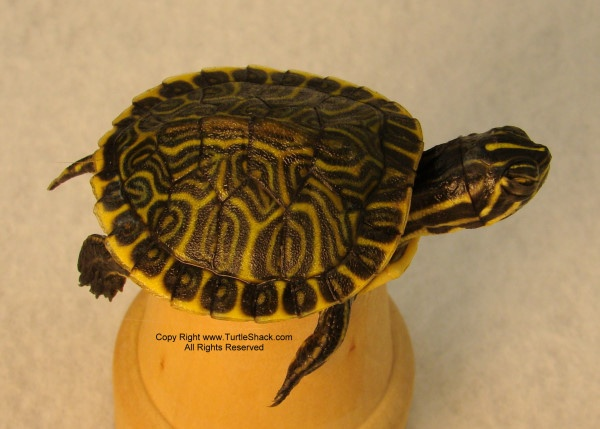 baby turtles!!!! I am soo getting one