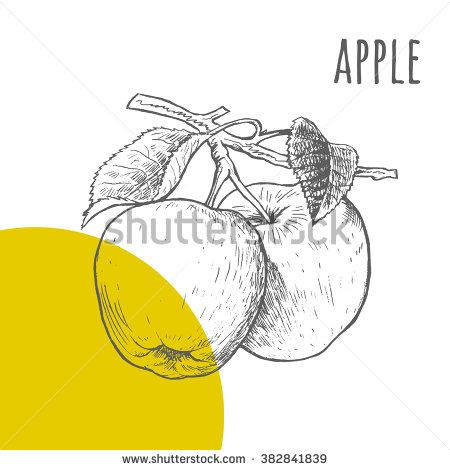 Apple vector freehand pencil drawn sketch. Illustration of two apples on branch with leaves. Part of set of fruits sketchy drawings.