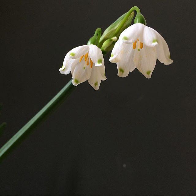 Eigentlich wollte ich heute nur Tulpen kaufen...aber die Märzenbecher waren einfach zu schön...