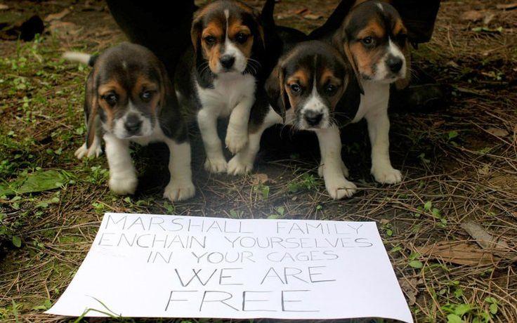 Cinque cuccioli di beagle liberati da un gruppo di animalisti nell'allevamento Green Hill di Montichiari lo scorso 28 aprile 2012. L'azienda è stata sequestarata il 18 luglio- Leggi la notizia