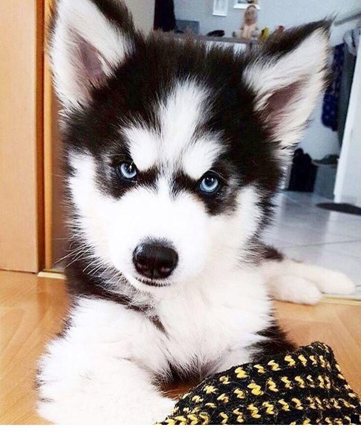 All About The Siberian Husky Siberian Alaskan Husky Dogs