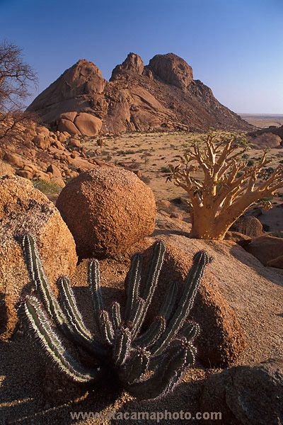 Euphorbia and Buttertree, typical flora of Namibia